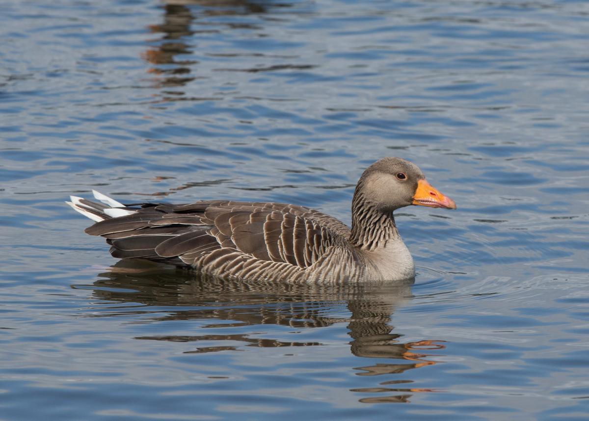 Male greylag goose birds images