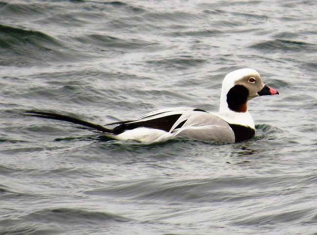 Male long tailed duck photos