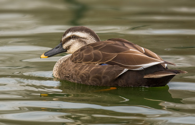 Male spot billed duck pictures