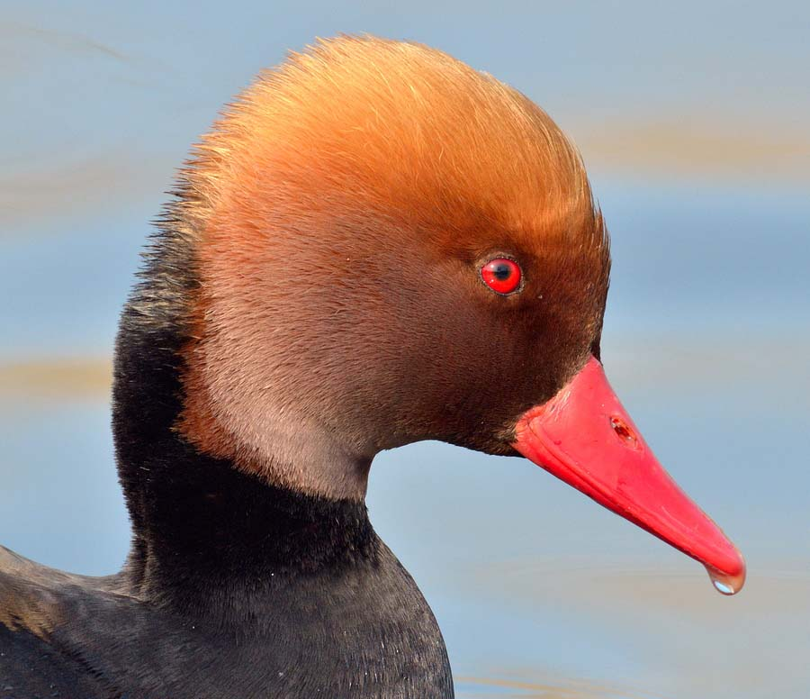 Red crested pochard face pics