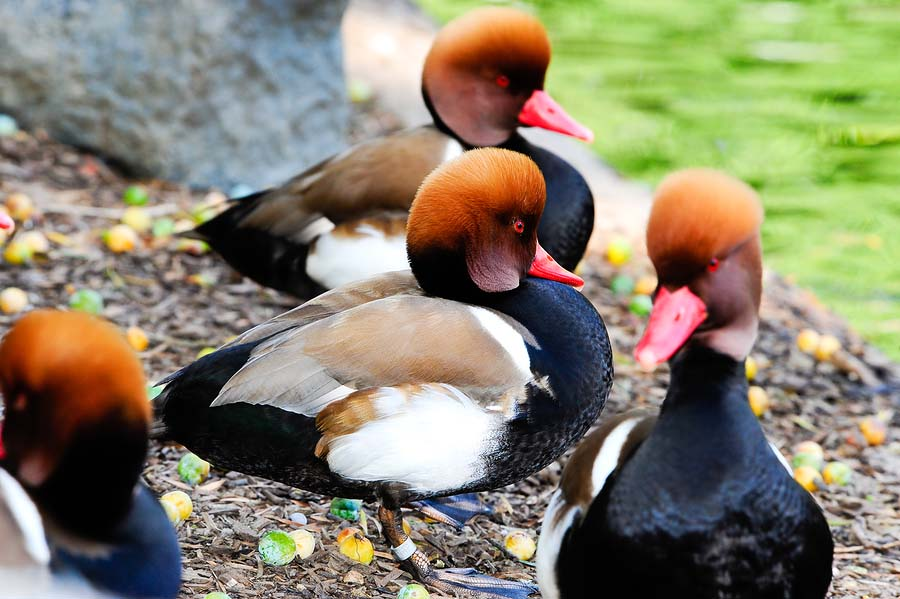Red crested pochard group photos