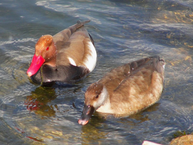 Red crested pochard pair photos