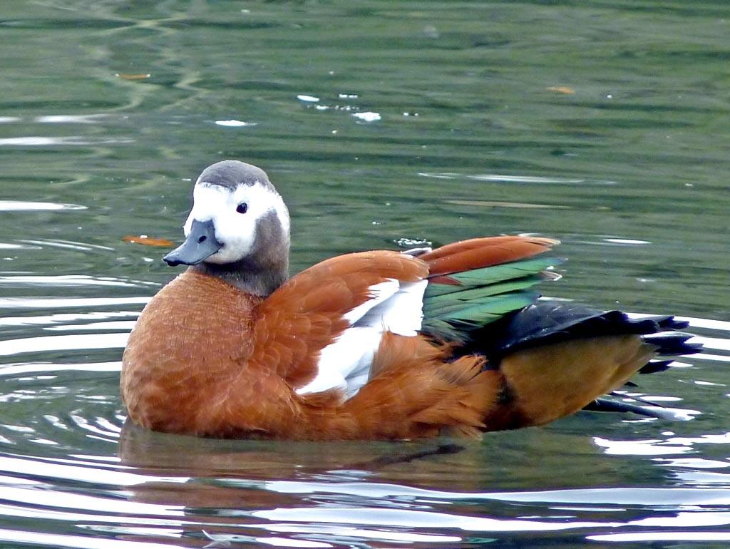 Ruddy shelduck in water photos