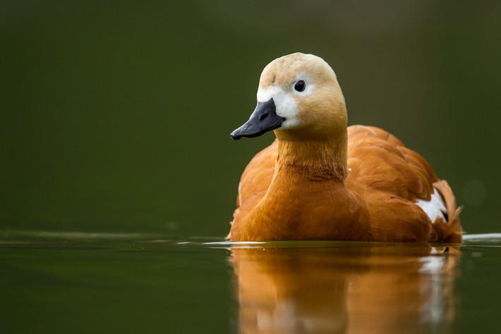 Ruddy shelduck indian birds gallery
