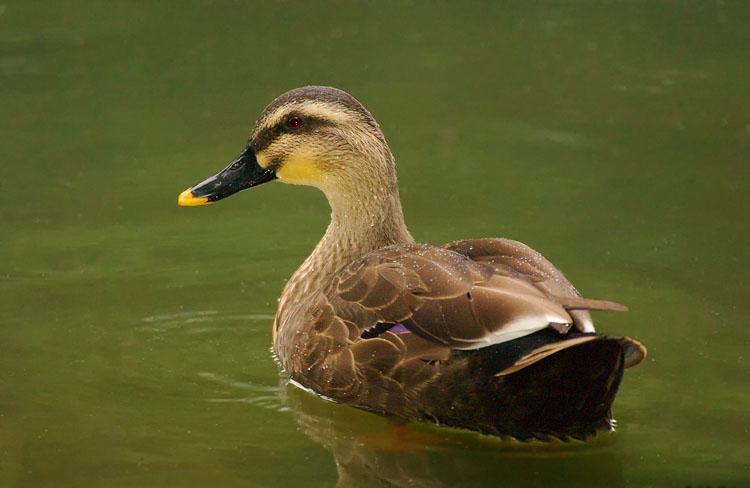 Spot billed duck cute images