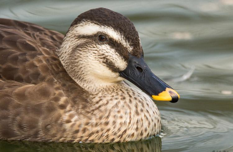 Spot billed duck face wallpapers
