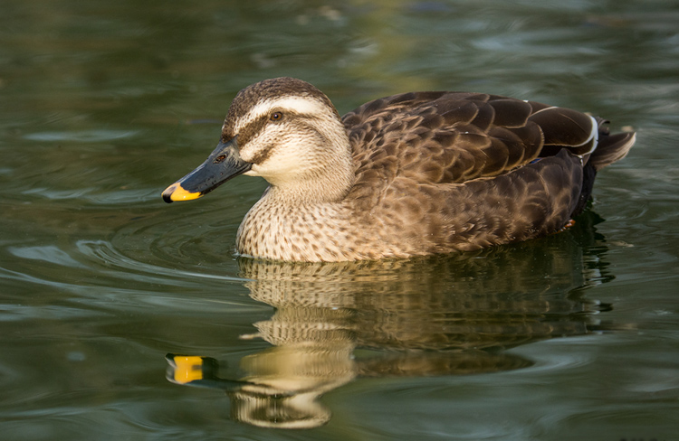 Spot billed duck female pictures