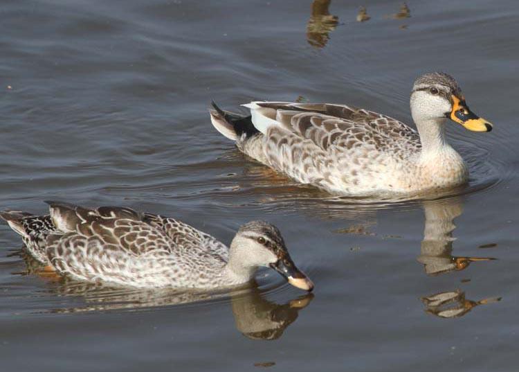 Spot billed duck pair photos