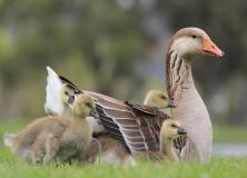 greylag goose pictures