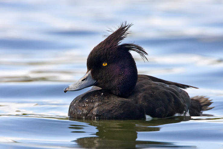 Tufted duck male photos