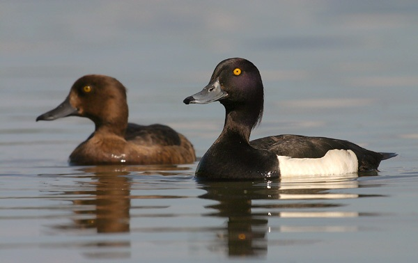 Tufted duck pair pictures