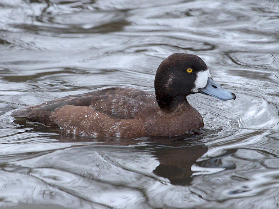 Tufted duck pictures