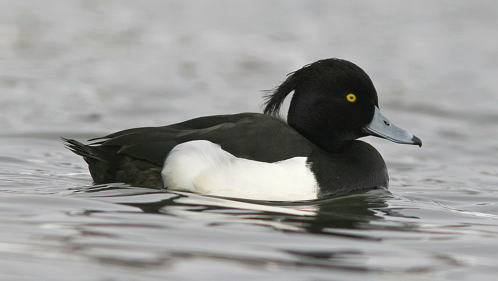 Tufted duck wallpapers