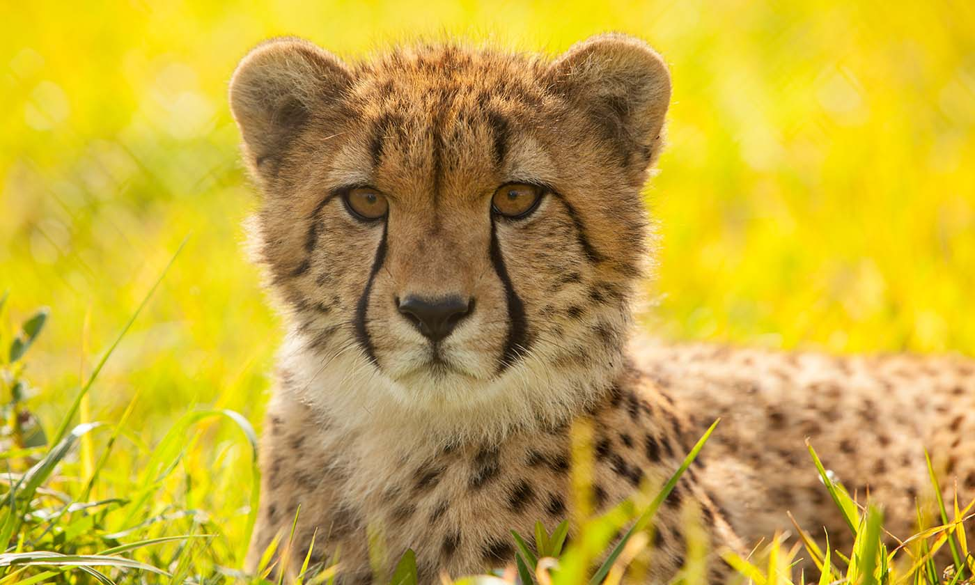 Baby cheetah face wallpapers