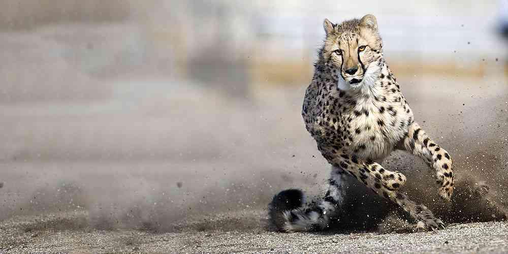 Cheetah animal desktop photos