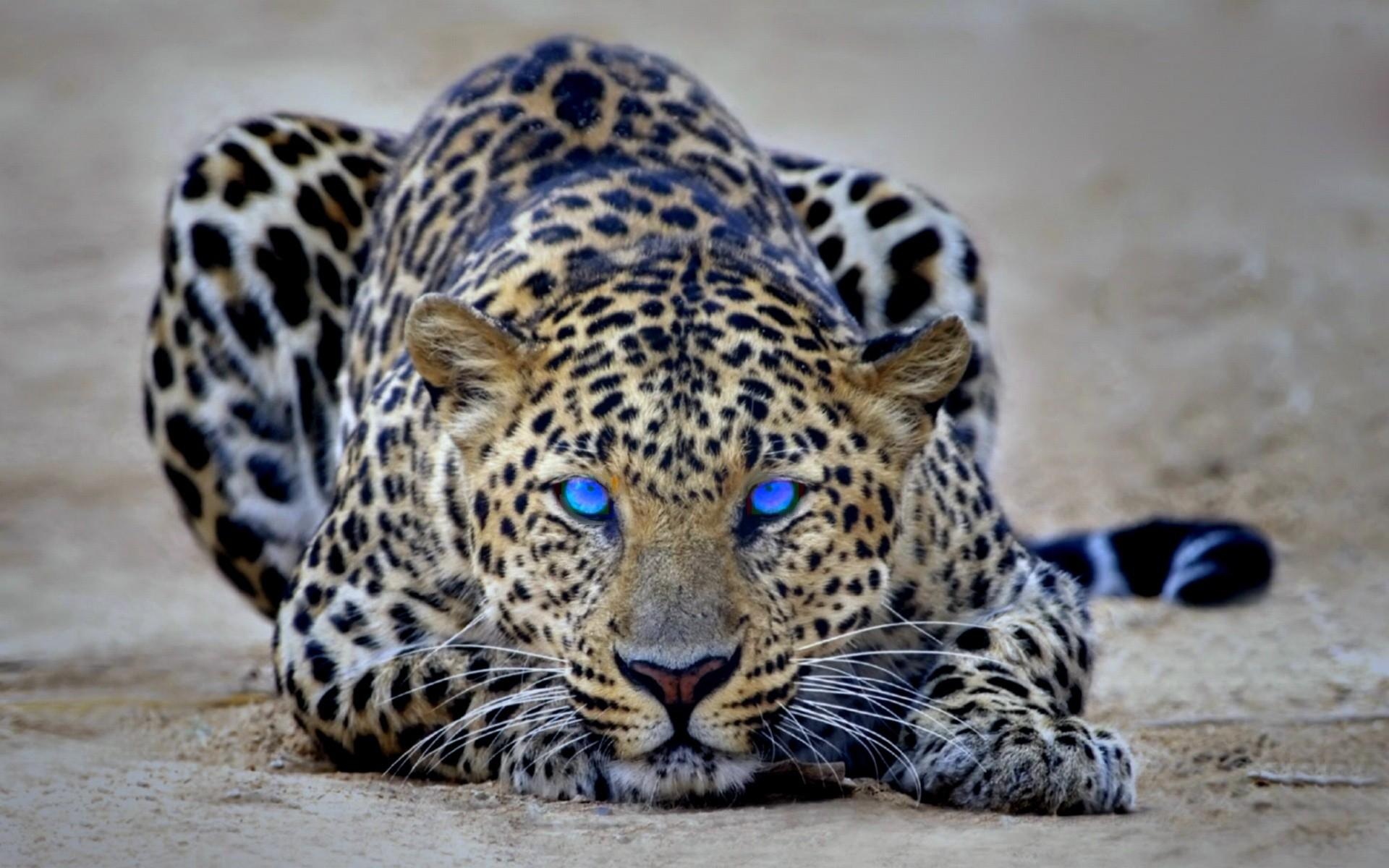 Cheetah animal hd wallpaper