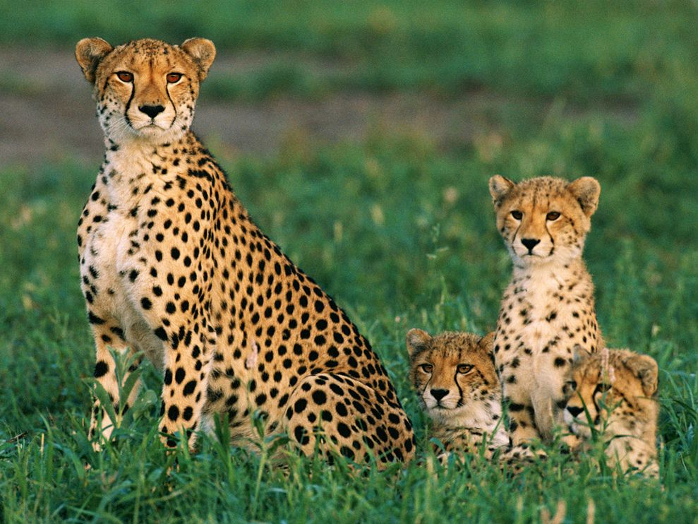 Cheetah family pictures