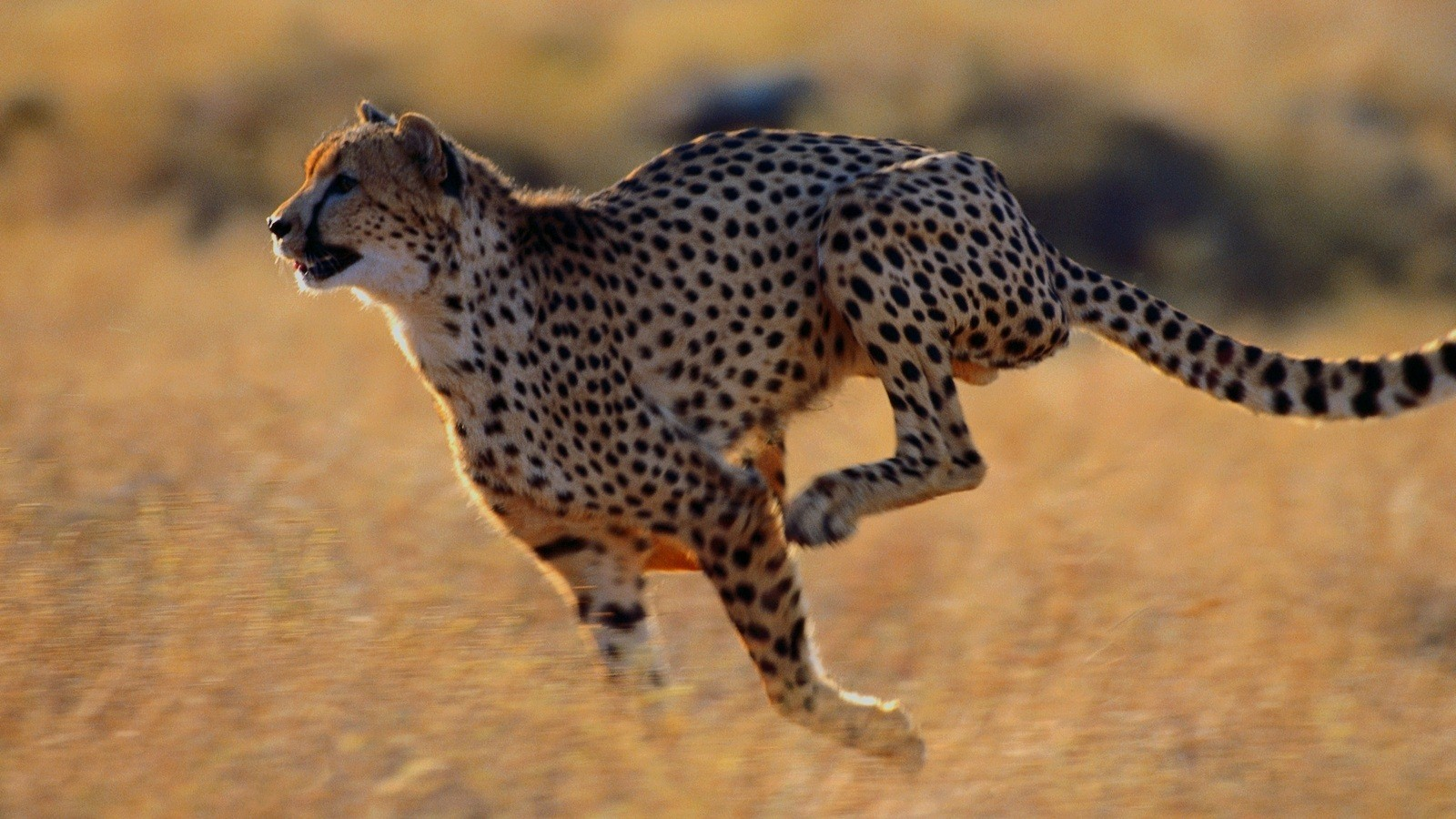 Cheetah hd animal pictures