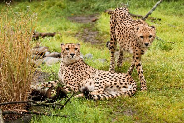 Cheetah male and female photos