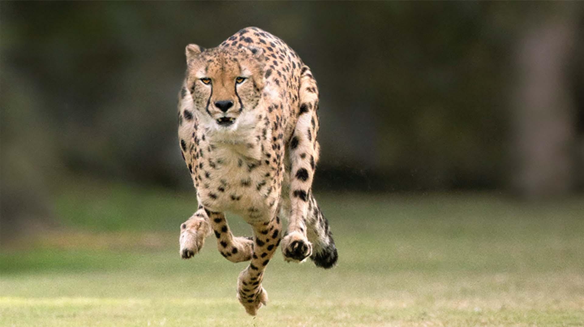 Cheetah running photos