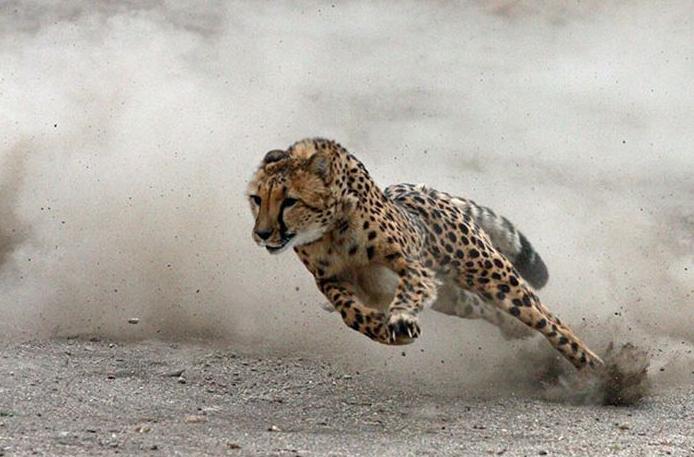 Cheetah running wallpaper