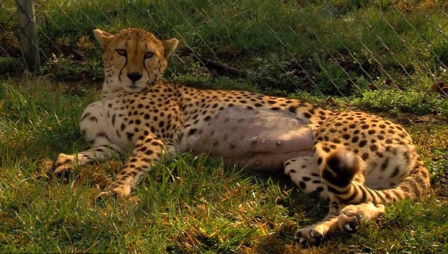 Female cheetah photos