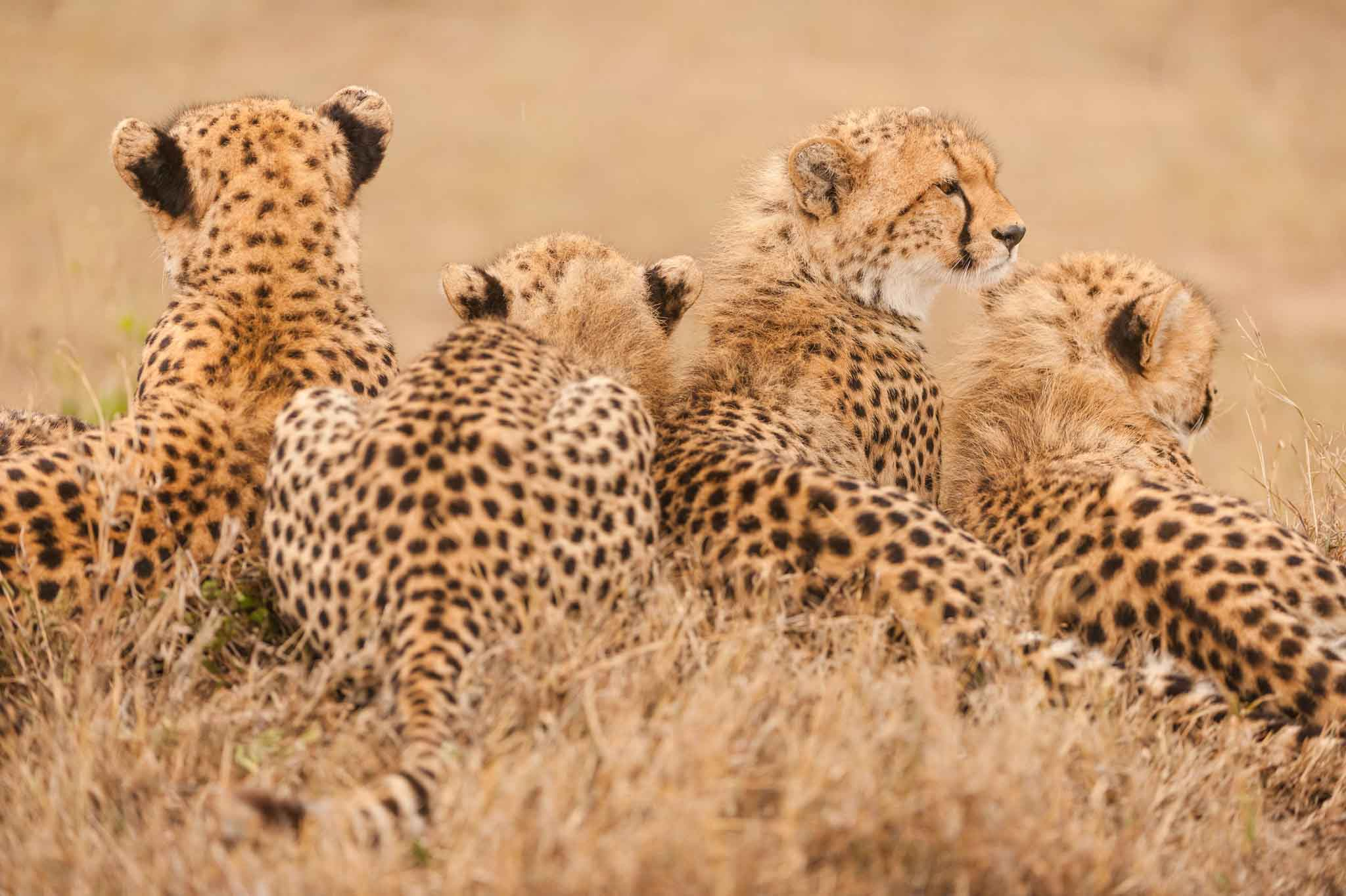 Group of cheetah back side photos