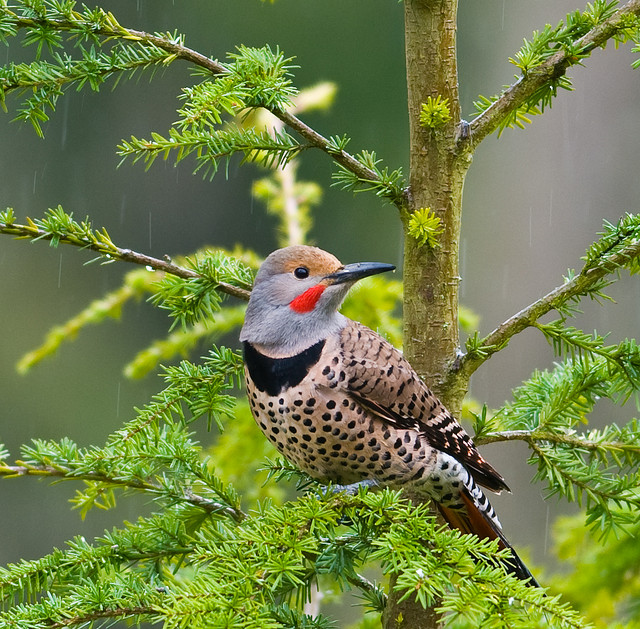 Northern flicker bird photos