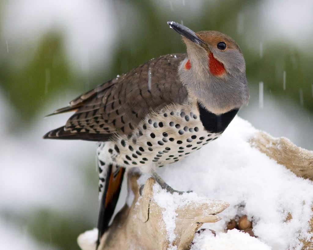 Northern flicker bird stills