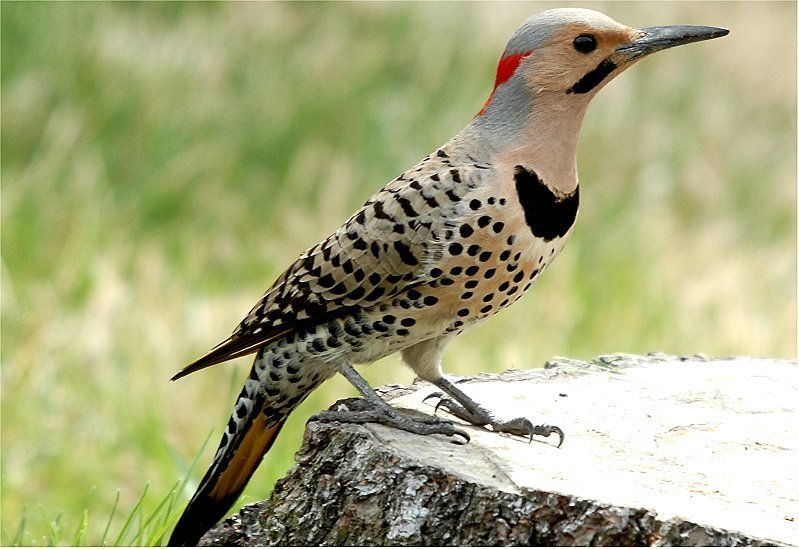 Northern flicker bird wallpaper