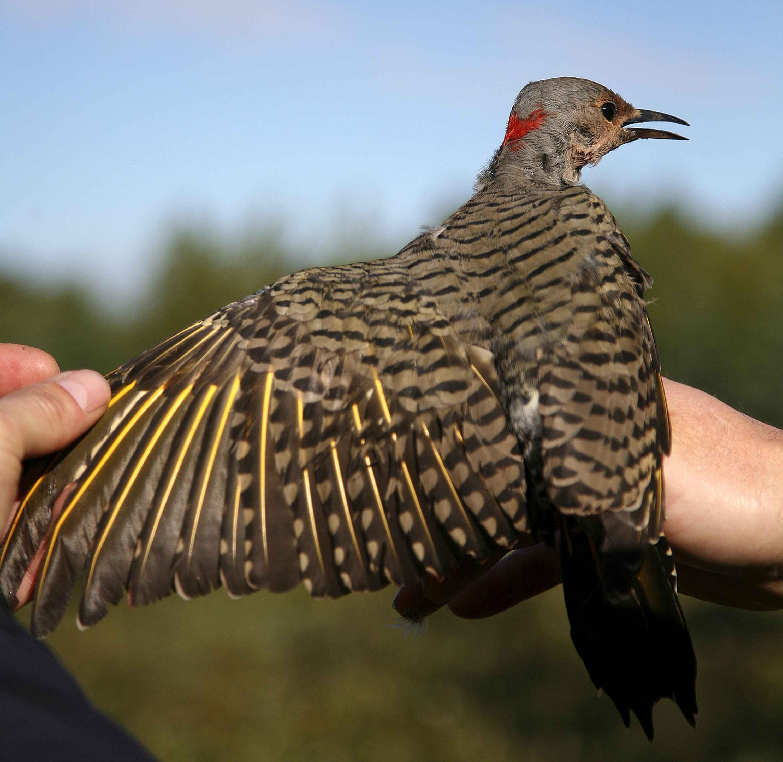 Northern flicker flying birds