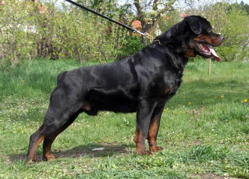 Rottweiler black dog pictures