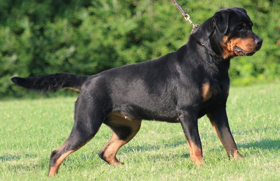 Rottweiler dog cute photos