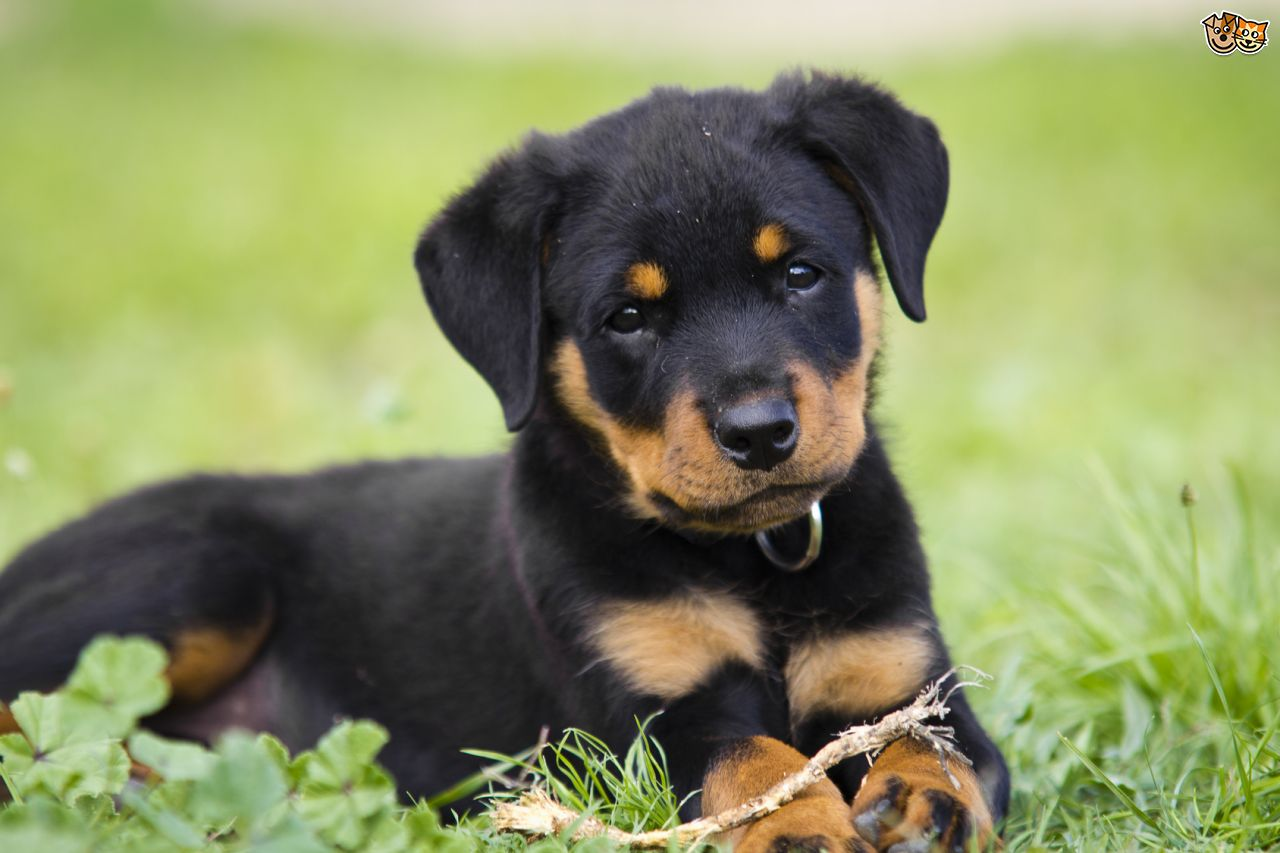Rottweiler dog puppy pictures