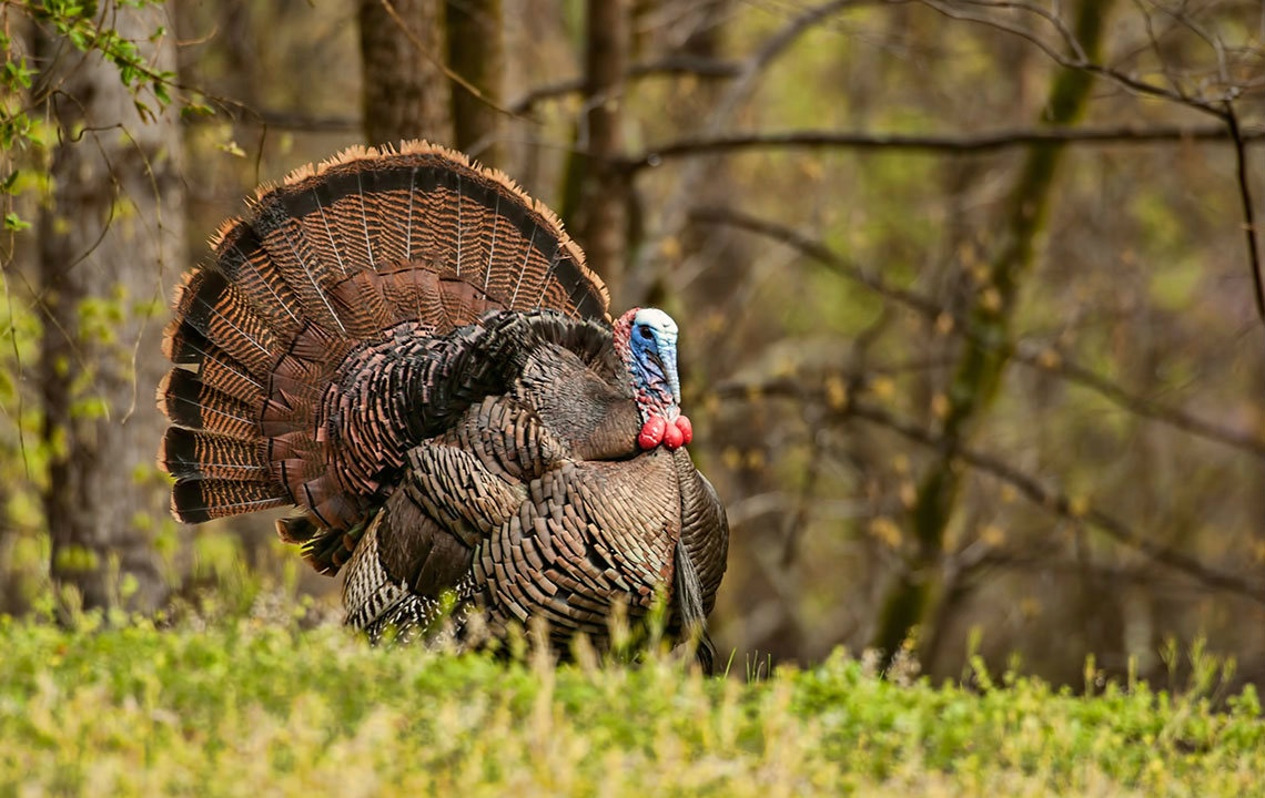 Wild turkey bird hd pictures