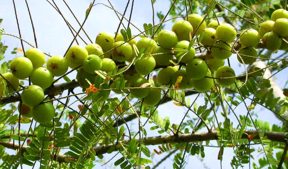 Amla tree with fruit photos