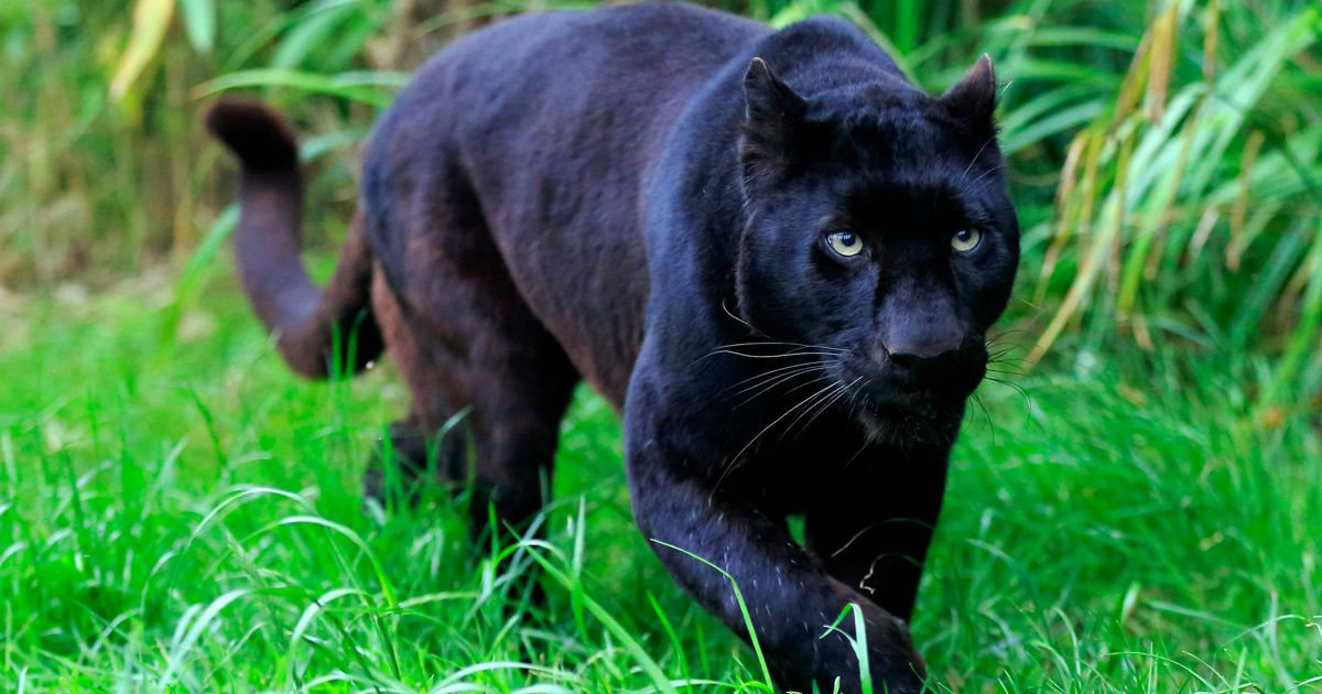Black panther animal in garden