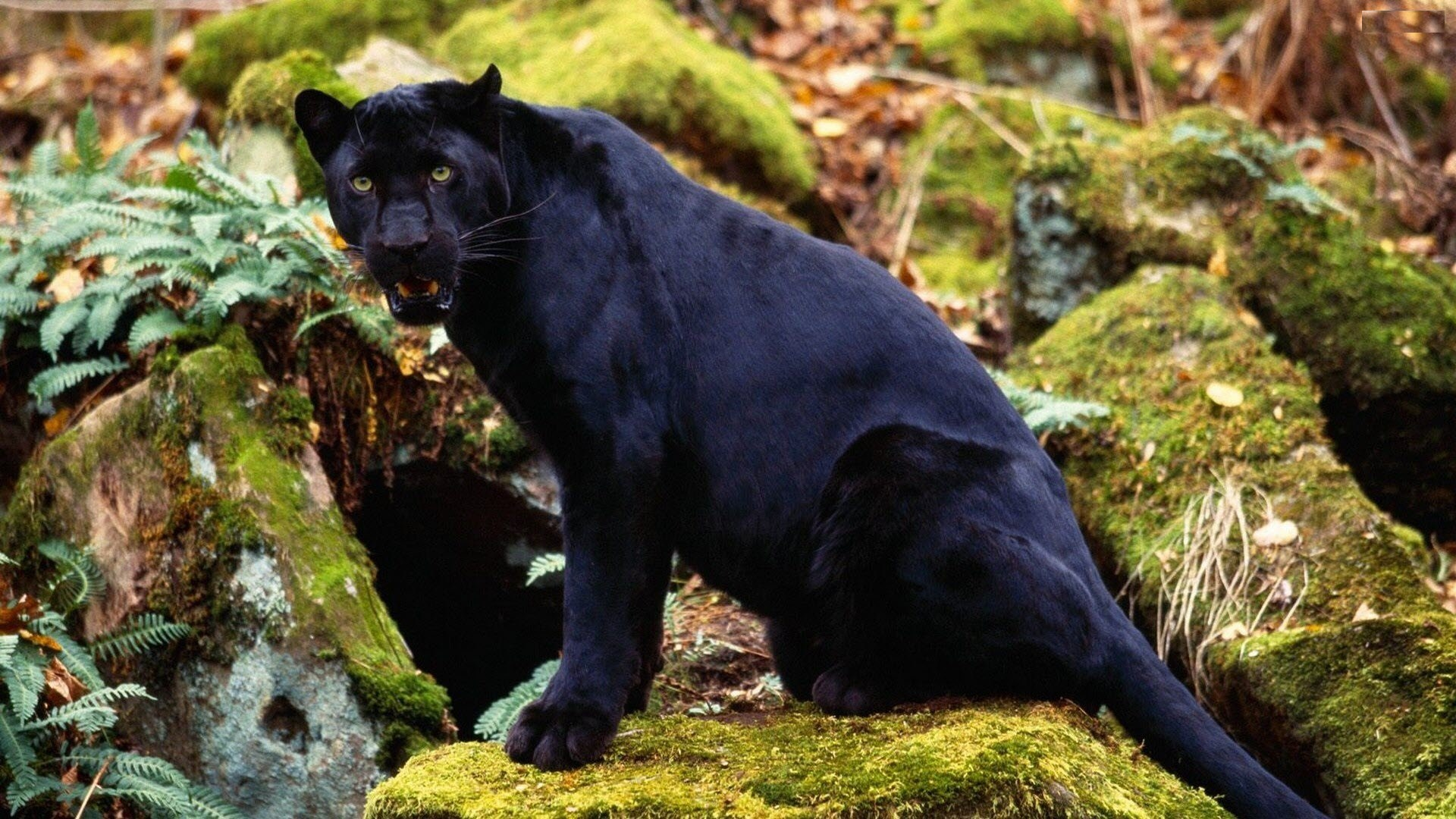 Black panther cute photos