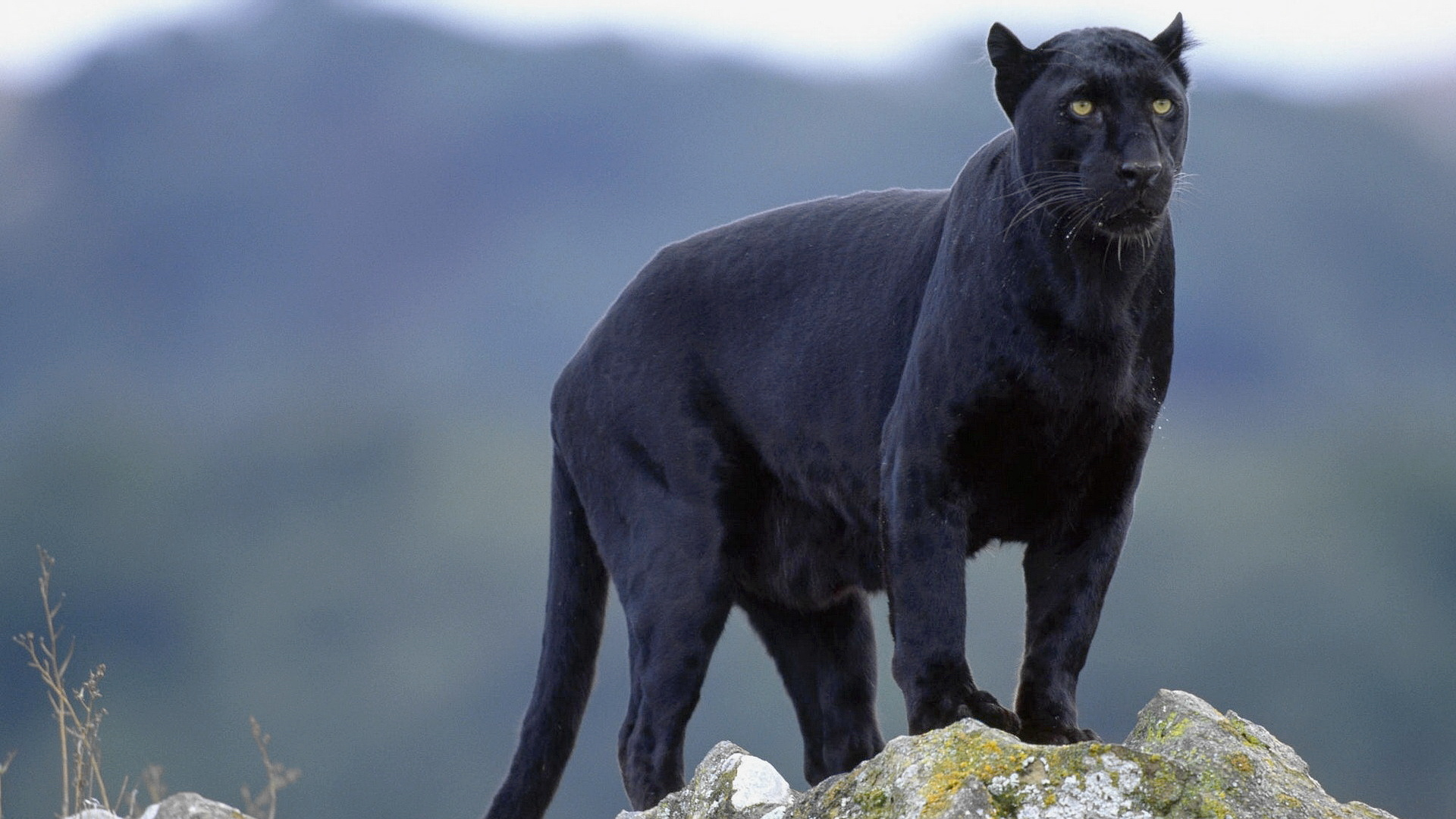 Black panther in mound