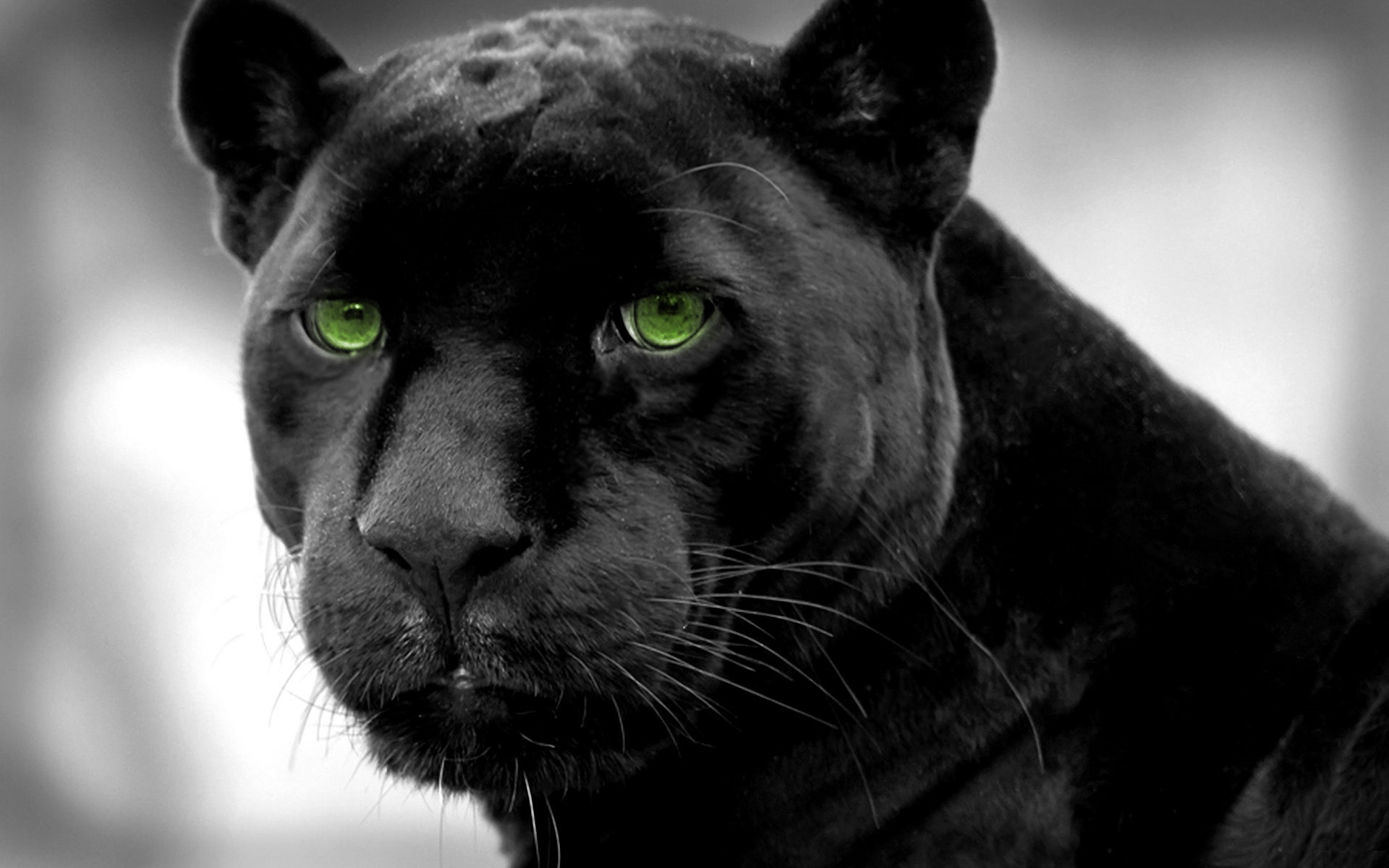 Black panther with green eyes wallpaper
