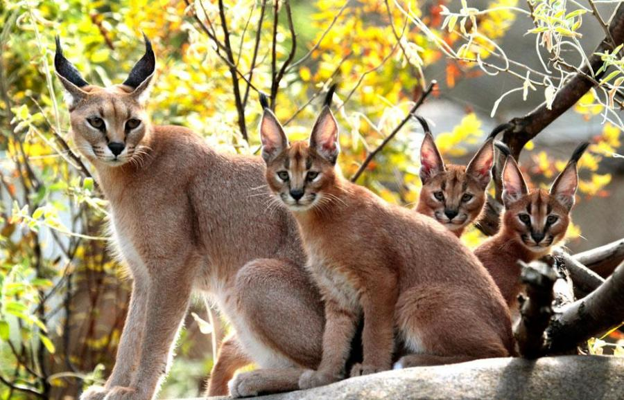 Caracal many animal pictures