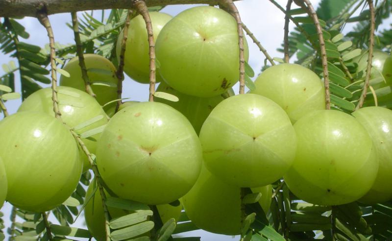 Fresh amla fruit pics