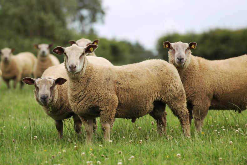 Galway sheep animal photos