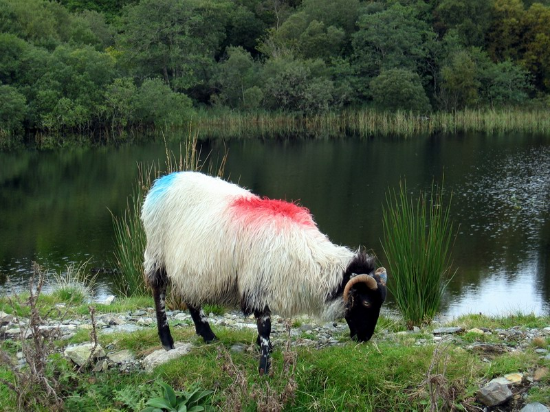 Galway sheep animal pictures
