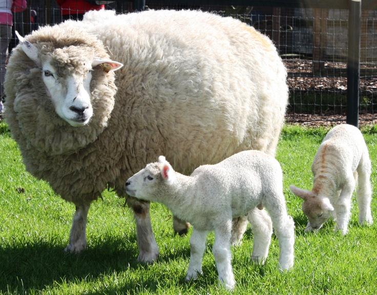 Galway sheep animal wallpaper