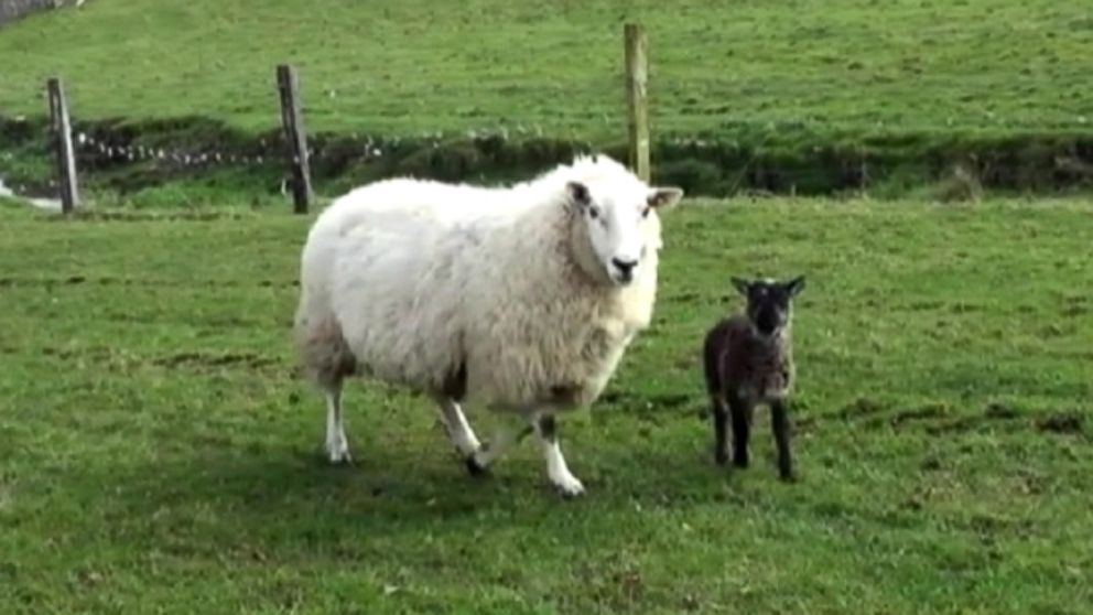 Galway sheep animal with kitten