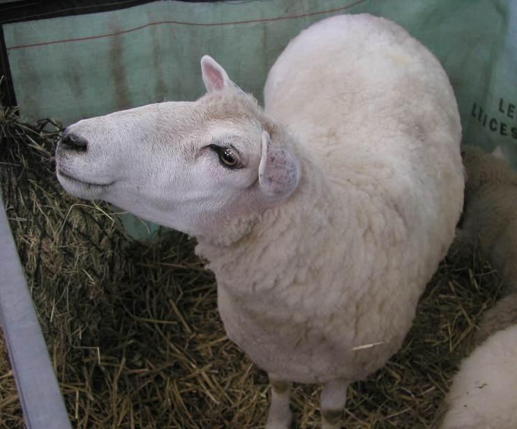 Galway sheep cute photos