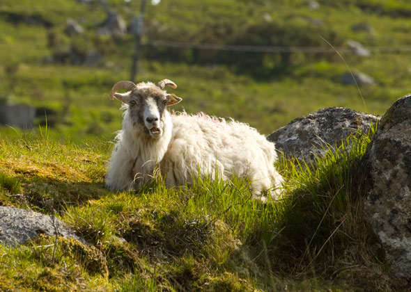 Galway sheep wallpaper stills