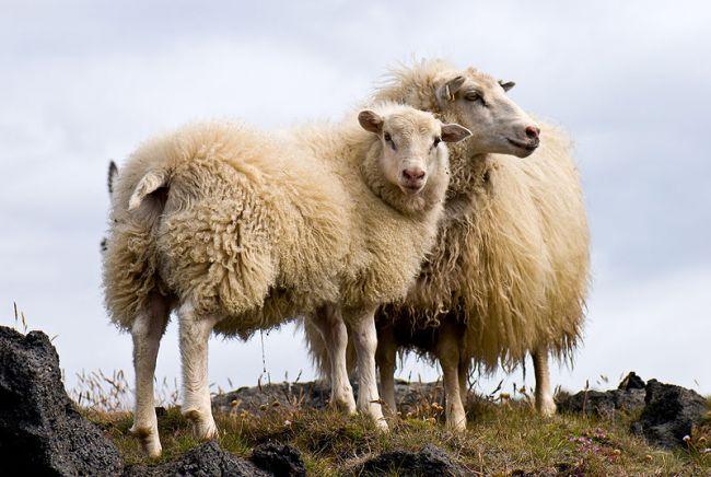 Ireland galway sheep animal