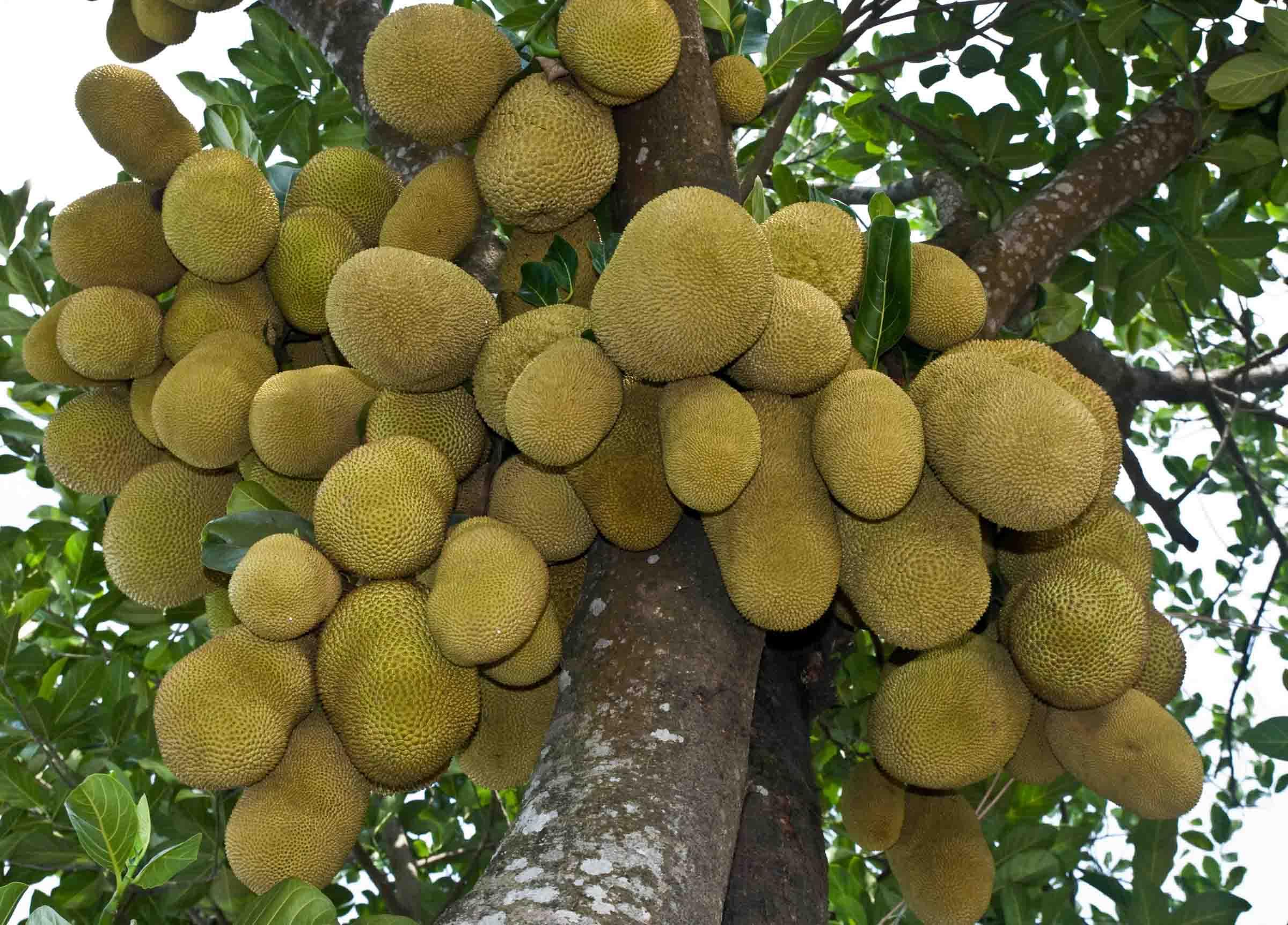 Jackfruit tree with fruits photos